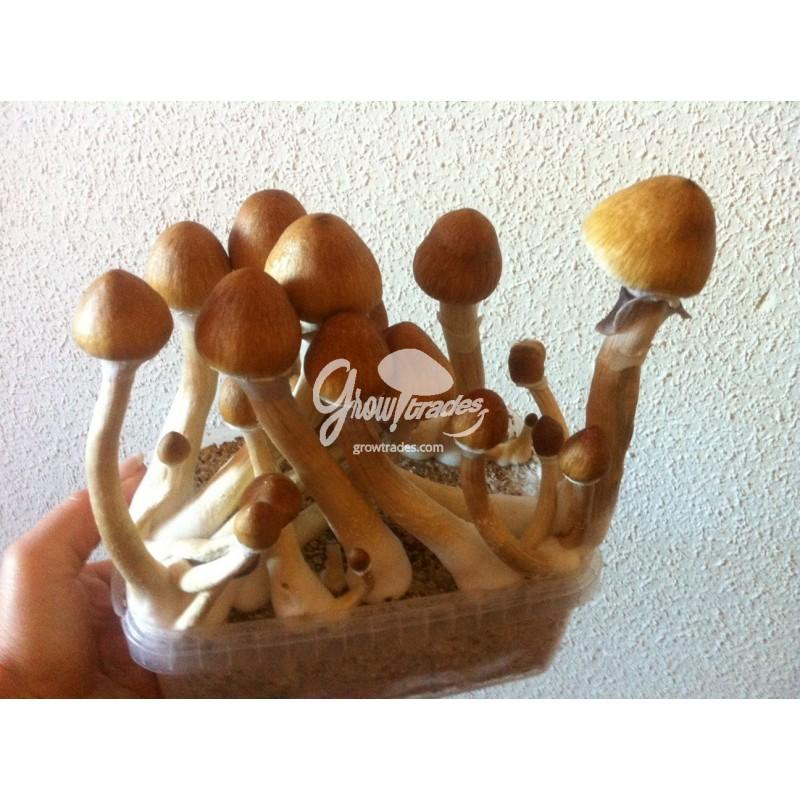Mushroom growbox