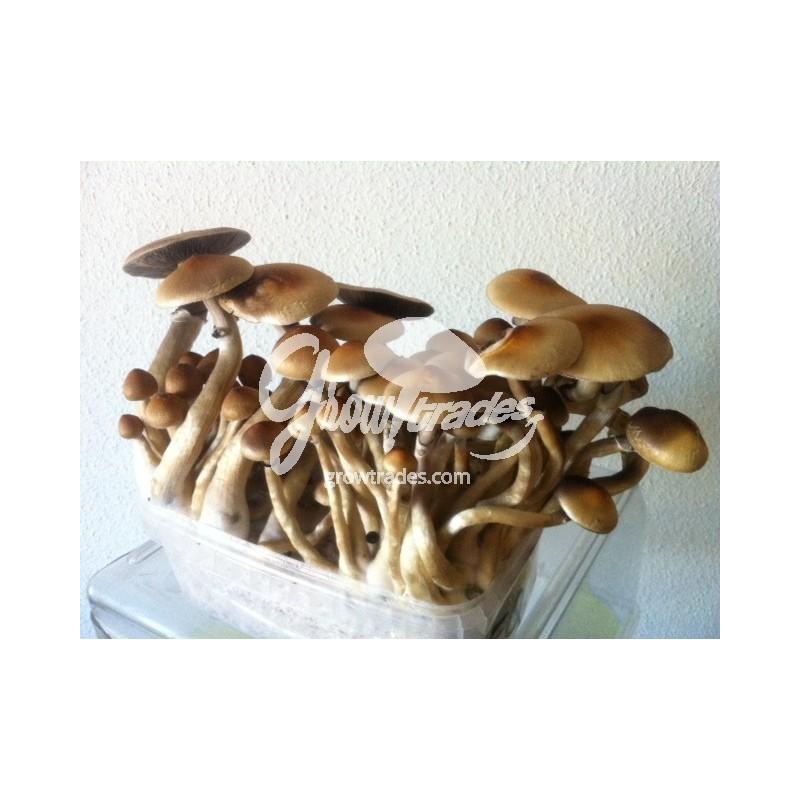 Magic Mushrooms Grow Kit Ecuador, Supra GrowKit 100% Mycelium