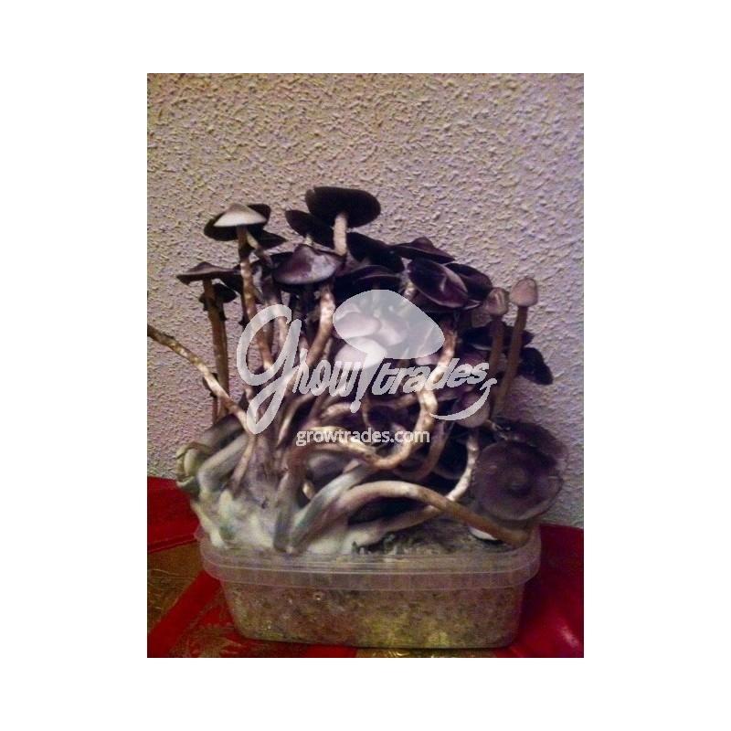 Magic Mushrooms Grow Kit Moby Dick, Supra GrowKit 100% Mycelium
