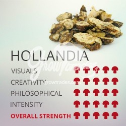Magic Truffle Psilocybe Holandia