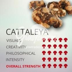 Magic Truffle Psilocybe Cattaleya