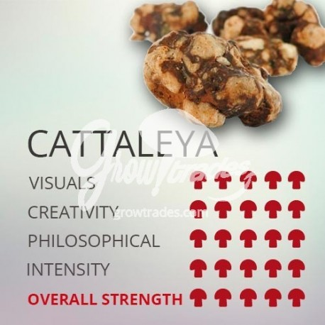 Magic Truffle Psilocybe Cattaleya