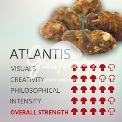 Magic Truffle Psilocybe Atlantis